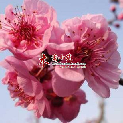 Get Quotations · Year Flowering Plum Trees Boutique ] [ American Plum  Balcony Patio Potted Greenery . Fear The
