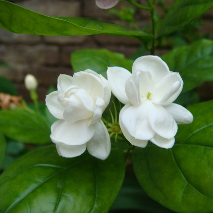 Buy desktop potted plants balcony jasmine fragrant flowers fragrant desktop potted plants balcony jasmine fragrant flowers fragrant white jasmine plant boutique mightylinksfo